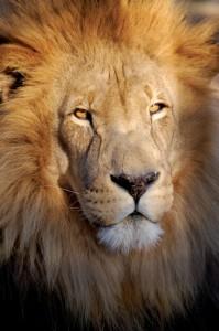 lion-199x300
