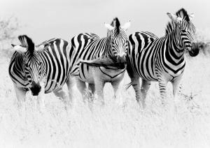 zebra zebras